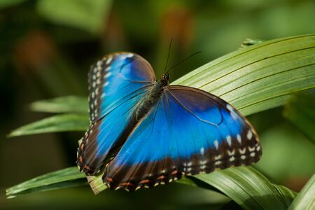 Blue Morpho Butterfly (Morpho peleides) photo