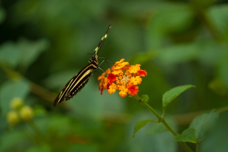 longwing: Zebra Longwing (heliconius charithonia) butterfly in nature Stock Photo