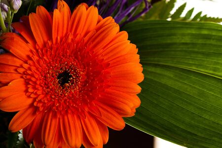 Red gerbera daisy flower with greens photo