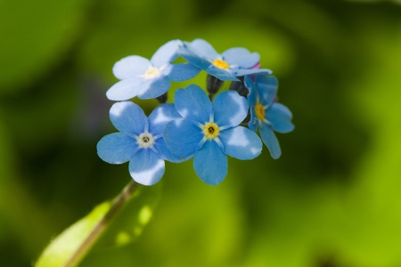 Blue forget-me-not macro in nature close up Imagens