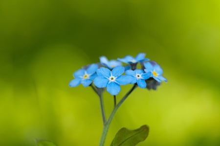 Blue forget-me-not macro in nature close up Standard-Bild