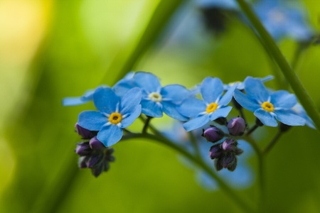 Blue forget-me-not macro in nature close up Banco de Imagens