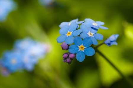 Blue forget-me-not macro in nature close up photo