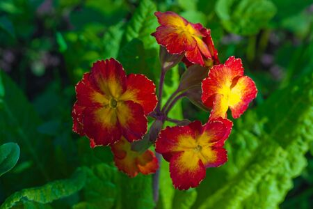 Red yellow Primrose flower in green nature photo