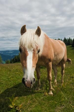 Portret konia na Zwölferhorn w Austrii