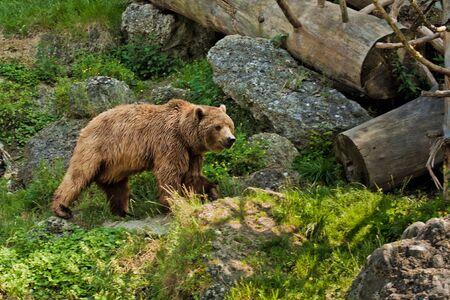 Bear portrait in Salzburg zoo in Austria