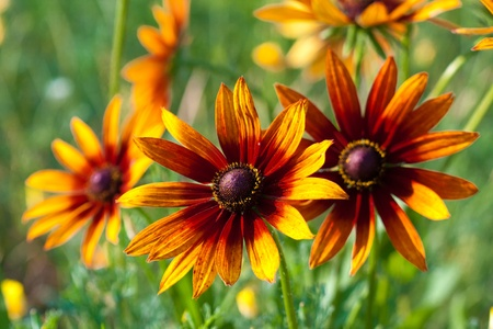 hirta: Red Yellow Rudbeckia flower in nature