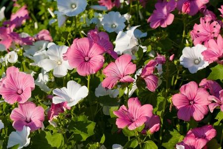 Ping lavatera flower Stock Photo