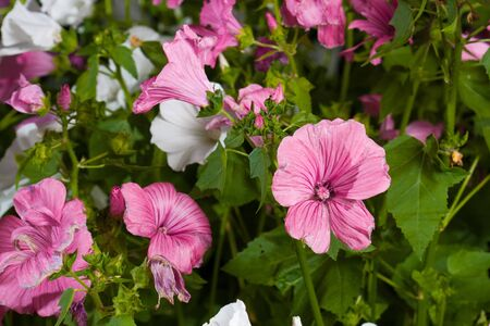 Pink Lavatera flower in green nature Stock Photo