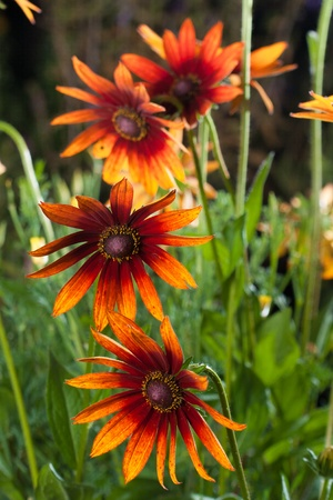 Red Yellow Rudbeckia flower in nature