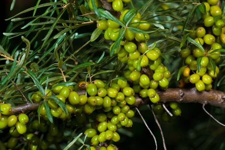 Branch of raw  Sea-buckthorn in nature photo