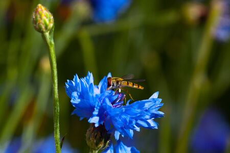 Blue Cornflowers in nature with insect photo