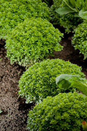 Basil plant in garden close up Imagens