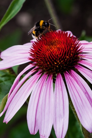 Pink Echinacea flower with bee and pollen photo