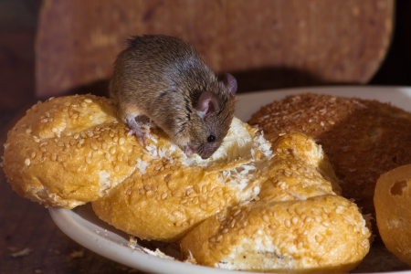 house mouse: Mouse in the kitchen eating bread