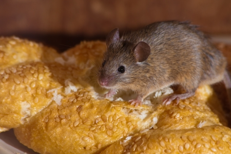 ratones: Del ratón en la cocina comiendo pan Foto de archivo