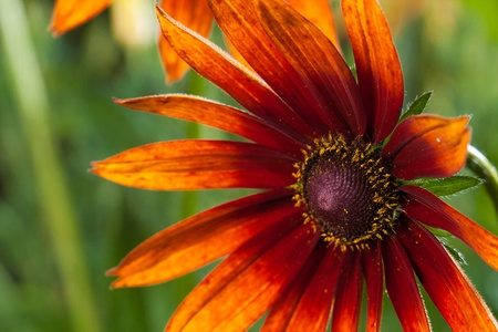 Red Yellow Rudbeckia flower in nature photo