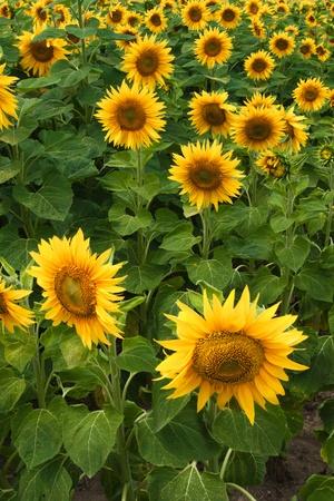 Słoneczniki na tle niebieskiego nieba