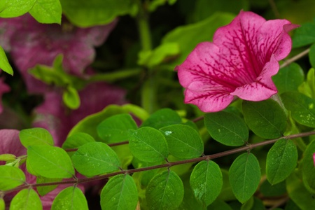 Pink Lavatera flower in green nature photo