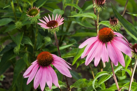 Pink Echinacea flower on green nature background photo