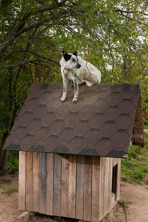 doghouse: Dog sitting on te roof of doghouse Stock Photo