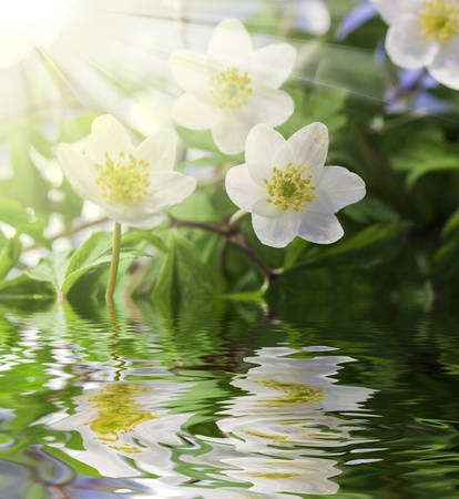 White anemone in water with water drops and sun