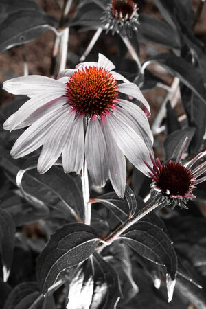 Pink Echinacea flower on Black and white background photo