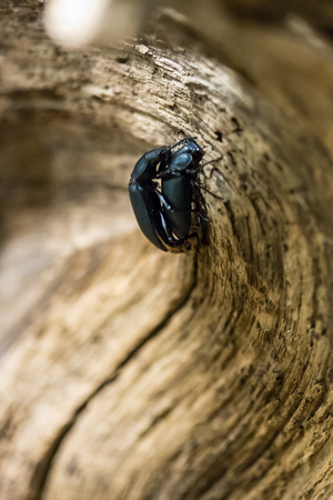 coupling: Darkling beetle pairing in nature Stock Photo