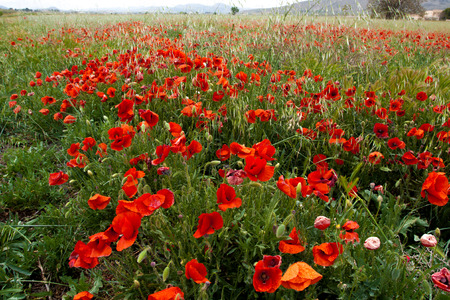 Red poppy flower in nature Stock Photo