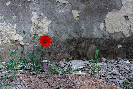 Poppy flower on old wall background
