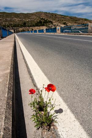 Poppy flower growing through asphalt on the road Stock Photo