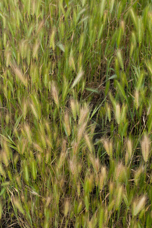 Green wheat plants bacground in nature