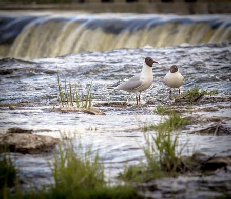Seagull standing with Ventas Rumba waterfall in background Standard-Bild