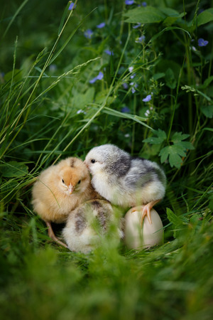 Chick telling sectert with egg in easter into green grass Standard-Bild