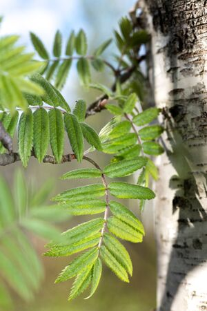 Birch tree leafs on sunny day in summer