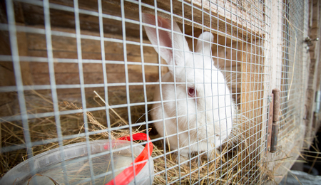 White rabbit in cage looking sad