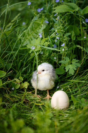 Chick with egg in easter into green grass