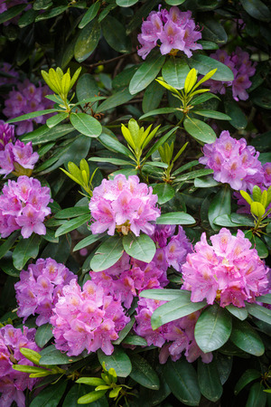 Pink Rhododendron flowers in the garden Standard-Bild