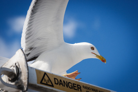 Seagull on the danger sign close up