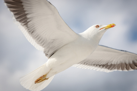 Seagull flying in the sky close up Standard-Bild