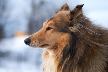 Collie shepherd in winter outdoors, profile