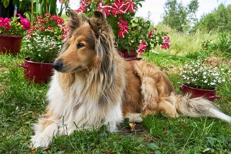 Collie Shepherd in a garden on a floral background Imagens