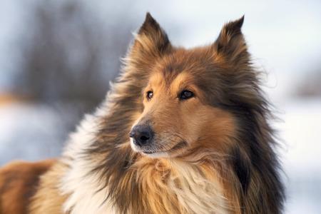 Collie shepherd in winter outdoors, big closeup