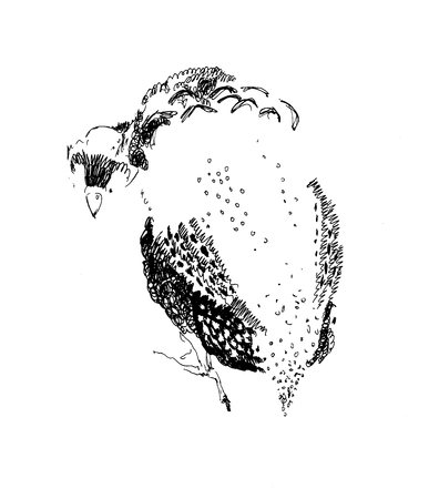 Partridge - sketch