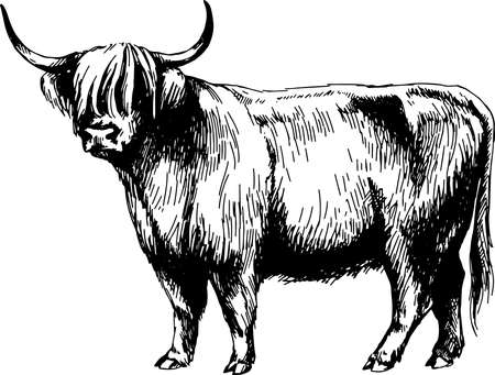 cow highland farm, graphics illustration