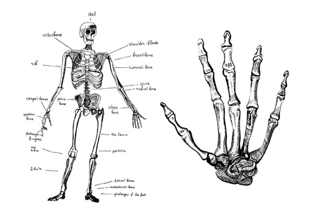 Skeleton and hand