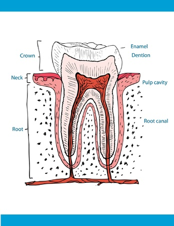 illustration of anatomy of teeth