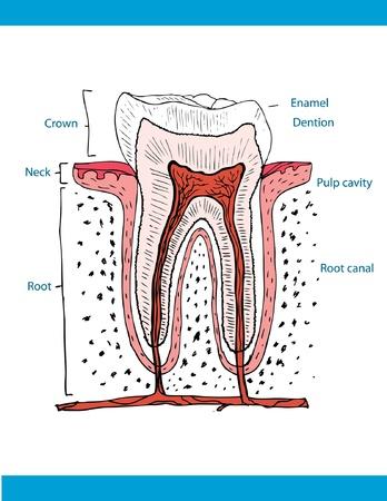 dental pulp: illustration of anatomy of teeth