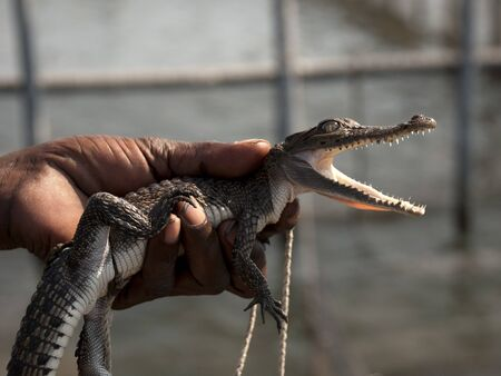Small crocodile in hand of a man who shows it to tourists