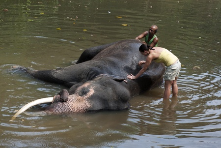 Kegalle, Sri Lanka- March 06, 2012: A volunteer is washing an elephant with elephants mahout at Millennium Elephant Foundation.